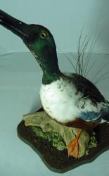 T875 Shoveller Duck