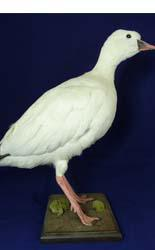 T520 Snow Goose
