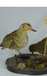 T631 Pair of Golden Plovers