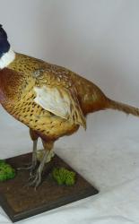 T737 Pheasant