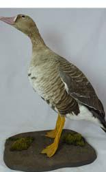 T719 White Fronted Goose