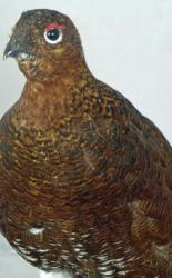 T817 Grouse