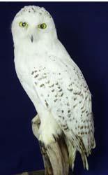 T703 Snowy Owl