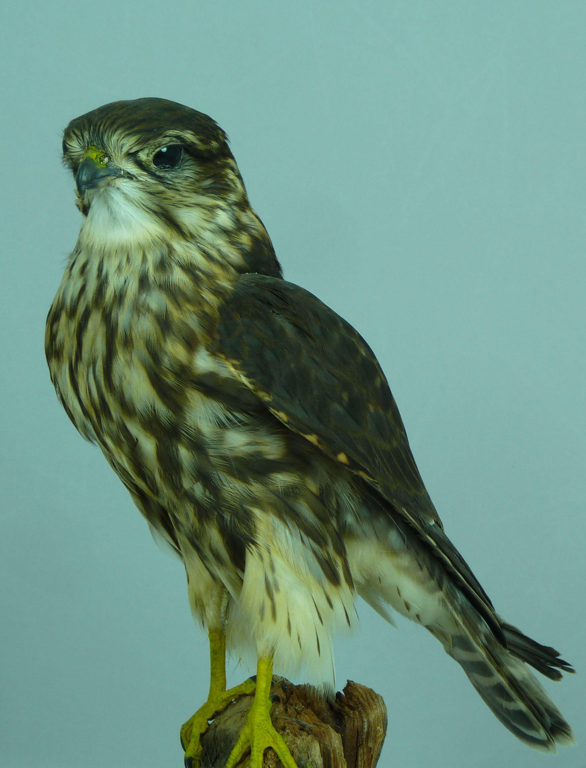 T844 Female Merlin