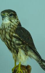 T844 Female Merlin