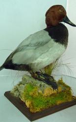 T869 Pochard Duck