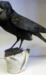 Rook Taxidermy T1018