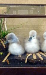 T841 Three Boxed Cygnets