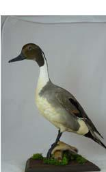 T731 Pintail Duck