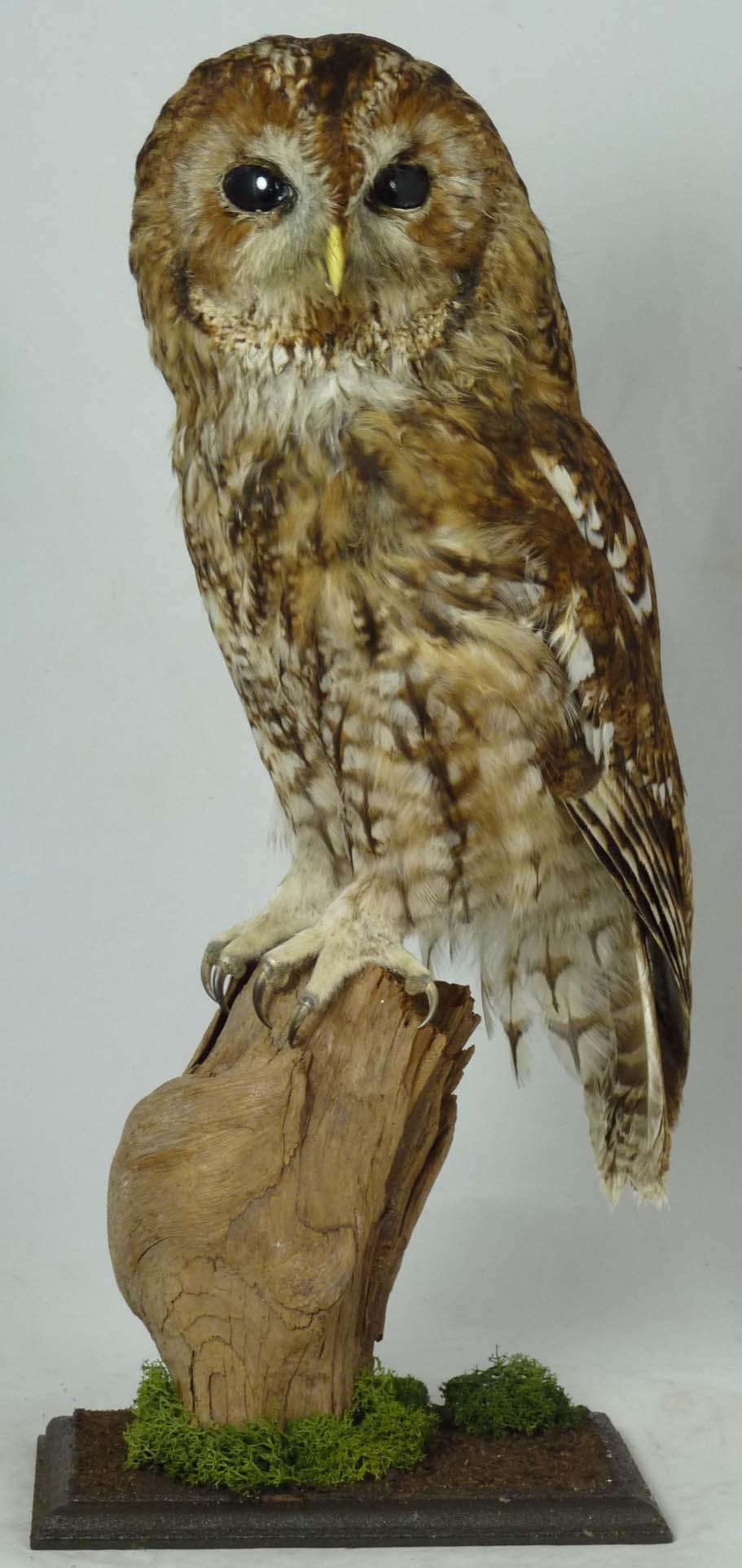 T813 TAWNY OWL