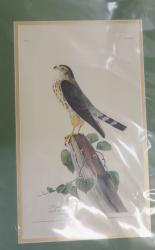Le Petit Caporal Limited Edition Audubon Print