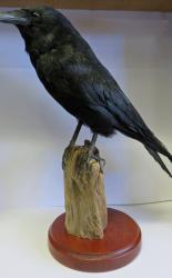 Crow Taxidermy T1017