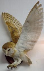 Wall Mounted Barn Owl