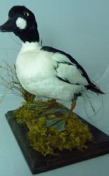 T871 Golden Eye Duck