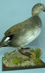 T870 Gadwall Duck