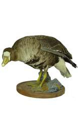 T660 White Fronted Goose
