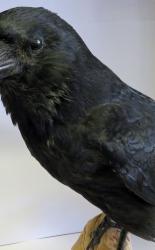 Crow Taxidermy T1016