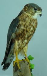T847 Male Merlin
