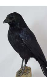 T777 Crow