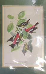White-winged Crofsbill Limited Edition Audubon Print
