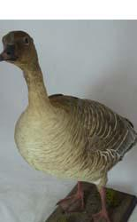 T657 Pinkfooted Goose