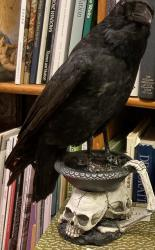 Taxidermy Crow on Skull