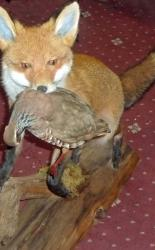 Fox With Partridge In Its Mouth