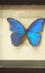 Taxidermy Butterfly Mounted in Frame